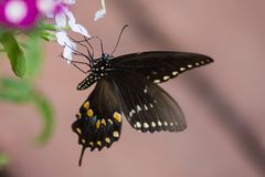 A spicebush swallowtail butterfly on an impatiens plant. A spicebush swallowtail butterfly that landed on a white impatiens blossom stock photography