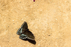 Spicebush swallowtail butterfly royalty free stock photography