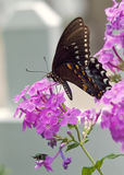 Spicebush Swallowtail Butterfly on Phlox.  stock image