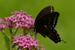 Spicebush Swallowtail Butterfly resting on flower. Spicebush Swallowtail Butterfly resting on pink kolanchoe Stock Images