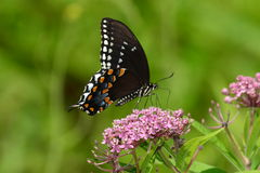 Spicebush Swallowtail Butterfly. Resting on purple flowers Stock Photos