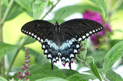 Spicebush Swallowtail Butterfly. Spread wing view of Spicebush Swallowtail Butterfly royalty free stock image
