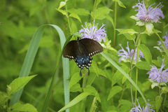Spicebush swallowtail butterfly on wild bergamot flowers in a Connecticut meadow Royalty Free Stock Photography