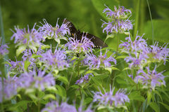 Spicebush swallowtail butterfly on wild bergamot flowers in Vernon, Connecticut. Royalty Free Stock Photography
