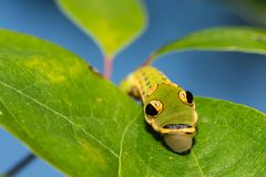 Spicebush Swallowtail Caterpillar stock foto