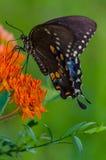 Spicebush Swallowtail en mala hierba de mariposa Fotografía de archivo