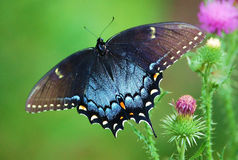 Spicebush Swallowtail female. Common in the south, sticks close to wooded areas, hindwings on females more blue.host plants ,Spicebush, sassafras, volets, laurel Stock Image