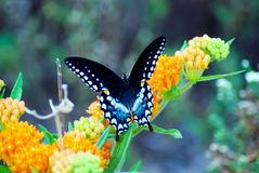 Spicebush Swallowtail fjärilsvingar royaltyfri foto