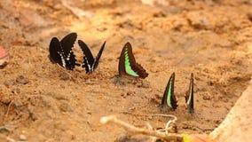 Spicebush Swallowtail I Pospolitego modraka Motyli ` s HD zbiory