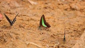 Spicebush Swallowtail I Pospolitego modraka ` s Motyli materiał filmowy zdjęcie wideo