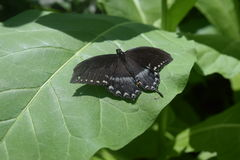 Spicebush Swallowtail on leaf Royalty Free Stock Photos
