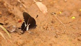 Spicebush Swallowtail motyla zakończenie W górę materiału filmowego HD zdjęcie wideo