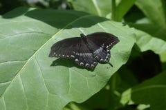 Spicebush Swallowtail na liściu Zdjęcia Royalty Free