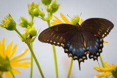 Spicebush Swallowtail på Ballard Nature Center i Illinois Arkivbild