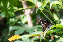 Spicebush Swallowtail (Papilio troilus) royalty free stock image
