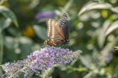 Spicebush Swallowtail, Papilio troilus swallowtail butterfly Royalty Free Stock Photos