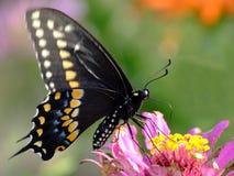 spicebushswallowtail Arkivfoton