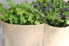 Spices. Fresh Parsley and basil in pots. Planters for a pot of fabric Stock Photos