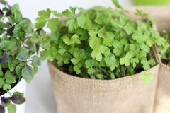 Spices. Fresh Parsley and basil  in pots. Fresh young parsley and basil grown at home Stock Photography