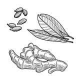 Spices. Ginger, bay leaf, cardamom. Isolated on white background. Vector black vintage engraving illustration royalty free illustration