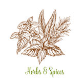 Spices and herbs seasonings vector sketch Royalty Free Stock Photo