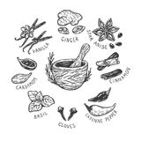 Spices & Herbs, Set. Set of hand drawn vector spices and herbs. Medicinal, cosmetic, culinary plants. Seeds, branches, flowers and leaves. Different types of Royalty Free Stock Photos