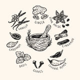 Spices & Herbs, Set. Set of hand drawn vector spices and herbs. Medicinal, cosmetic, culinary plants. Seeds, branches, flowers and leaves. Different types Royalty Free Stock Photos