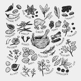 Spices & Herbs, Set. Set of hand drawn vector spices and herbs. Medicinal, cosmetic, culinary plants. Seeds, branches, flowers and leaves. Different types Stock Images