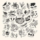 Spices & Herbs, Set. Set of hand drawn vector spices and herbs. Medicinal, cosmetic, culinary plants. Seeds, branches, flowers and leaves. Different types of Royalty Free Stock Images