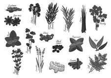 Spices and herbs vector isolated icons Royalty Free Stock Photos