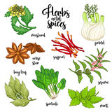 Spices and herbs vector set. Colored on white Stock Photography
