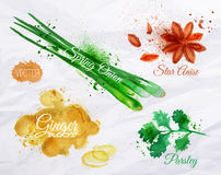 Spices herbs watercolor star anise, parsley,. Spices herbs set drawn watercolor blots and stains with a spray star anise, parsley, spring onion, ginger root Royalty Free Stock Photos