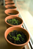 Spices Nursery. Closeup on young spice plants pots in the window Royalty Free Stock Photos