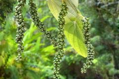 Spices-pepper four stalks on plant. Climber plant-Indian spice-pepper- Scientific name is piper nigrum- ripened four stalks on plants- a pungent condiment Stock Image