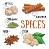 Spices. Set of spices and condiments. Vector illustration royalty free illustration