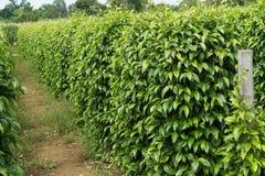 Spices tree farm Royalty Free Stock Photo