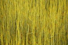 Spicka del maíz Foto de archivo libre de regalías