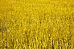 Spicka del maíz Imagenes de archivo