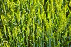 Spicka del maíz Imagen de archivo libre de regalías