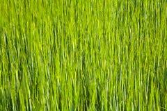Spicka del maíz Foto de archivo