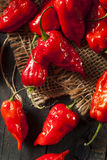 Spicy Hot Bhut Jolokia Ghost Peppers Stock Image