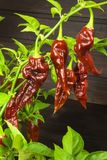 Spicy Hot Bhut Jolokia Ghost Peppers. Domestic cultivation extra hot chilli burn. Ghost Peppers on a Background. Capsicum Chinense Royalty Free Stock Photo
