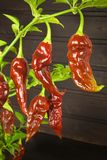 Spicy Hot Bhut Jolokia Ghost Peppers. Domestic cultivation extra hot chilli burn. Ghost Peppers on a Background. Capsicum Chinense Royalty Free Stock Photography