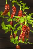 Spicy Hot Bhut Jolokia Ghost Peppers. Domestic cultivation extra hot chilli burn. Ghost Peppers on a Background. Capsicum Chinense Royalty Free Stock Images