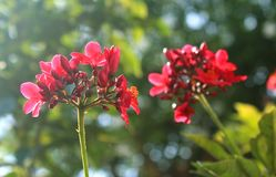 The bunches of spicy Jatropha flower with garden background. Royalty Free Stock Image