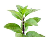 Spicy mint Royalty Free Stock Images