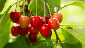 Free Spicy Red Cherry Fruit On A Tree Closeup Stock Images - 151000554