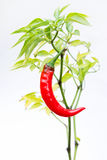 Spicy Red Chili Pepper stock photography