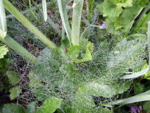Spider's web in dew Royalty Free Stock Photo