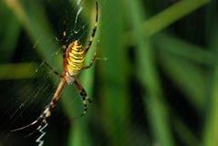 Spider_1 Immagini Stock Libere da Diritti
